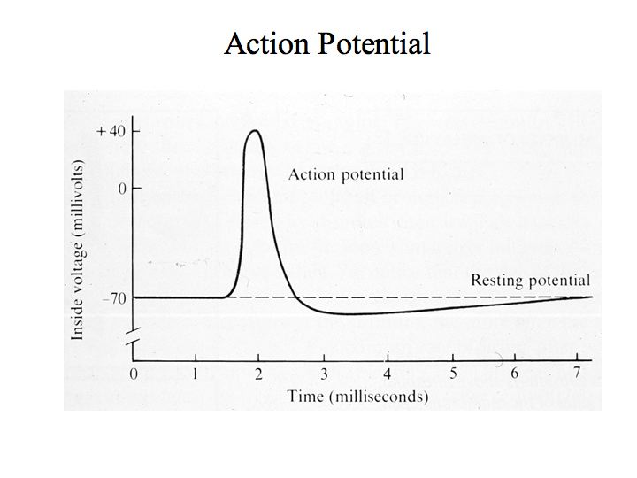 Perception lecture notes the brain action potentials are often referred to as spikes or impulses when its not stimulated a typical neuron rests at a voltage of about 70mv ccuart Choice Image