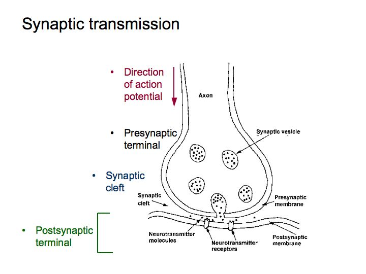 Perception lecture notes the brain this in turn causes a change in the electrical properties of the postsynaptic neuron bernard katz won a nobel prize for figuring out how synapses work ccuart Images
