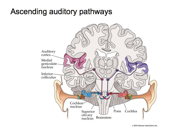 Perception lecture notes auditory pathways and sound localization auditory pathways ccuart Image collections