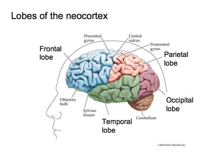 Perception Lecture Notes: The Brain
